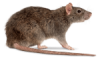 norway rat pest control